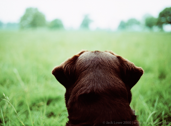 Chocolate Labrador, Photography by Jack Lowe