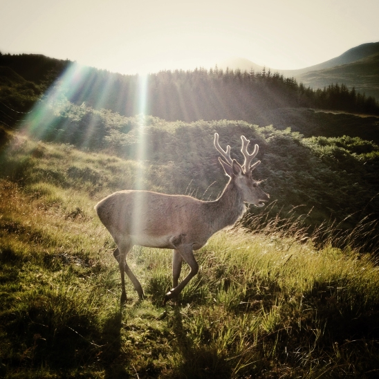 Stag at Bridge of Orchy, Scotland